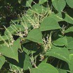 knotweed-01-3-1